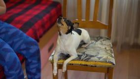 De hond huilt het Luisteren aan het Geluid van Fluit stock video