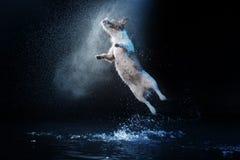 De hond Jack Russell Terrier, hondenspel, springt, loopt, beweegt zich in water Royalty-vrije Stock Fotografie