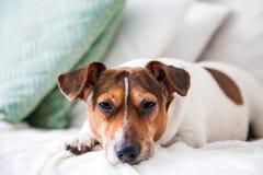 De hond Jack Russell Terrier ligt op bank Stock Afbeeldingen
