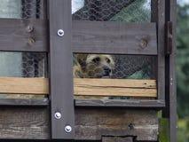De hond kijkt op de portiek Stock Afbeeldingen