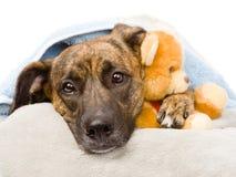 De hond koestert een gevuld stuk speelgoed Op witte achtergrond stock fotografie