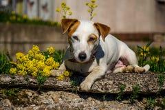De hond ligt Royalty-vrije Stock Afbeelding