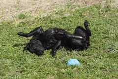 De hond ligt in het gras na het baden Royalty-vrije Stock Foto