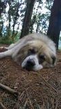 De hond ligt in het hout Royalty-vrije Stock Foto's