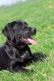 De hond ligt op een gras Stock Foto