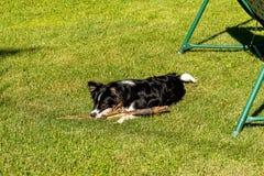 De hond ligt op een groen gazon De hondspelen met een stok op tonsured gazon royalty-vrije stock foto's