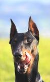 De hond likt zijn bakkebaarden Royalty-vrije Stock Foto