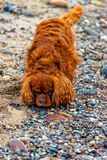 De hond loopt op het strand van Fehmarn royalty-vrije stock foto's