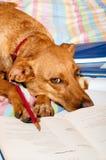 De hond maakt thuiswerk Royalty-vrije Stock Afbeeldingen