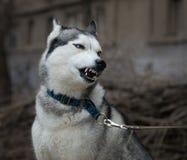 De hond maalt zijn tanden Stock Afbeeldingen