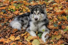 De hond Malamute Van Alaska ligt stock fotografie