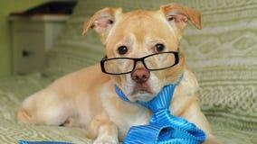 De hond met glazen Het concept van het onderwijs stock videobeelden