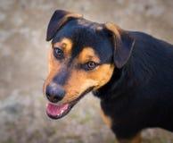 De hond met het houden van ziet eruit Royalty-vrije Stock Foto