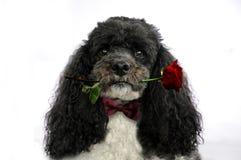 De hond met rood nam toe royalty-vrije stock fotografie