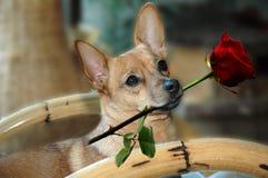 De hond met rood nam toe royalty-vrije stock afbeeldingen