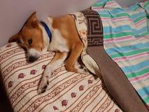 De hond ontspant binnen Royalty-vrije Stock Afbeelding