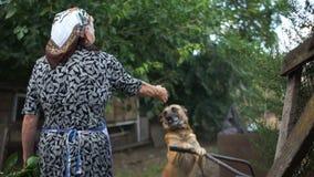 De hond op de ketting verheugt zich in de aankomst van zijn bejaarde maitresse Het dorpsleven, eenzame slechte oude dag, sociaal  stock video