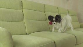 De hond Papillon draagt rood toenam in zijn mond in liefde op van de de motievoorraad van de valentijnskaartendag langzame de len stock videobeelden