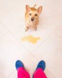 De hond plast thuis eigenaar stock afbeeldingen