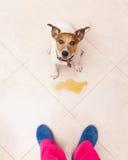 De hond plast thuis eigenaar royalty-vrije stock afbeeldingen