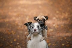 De hond is pug en border collie in het Park Royalty-vrije Stock Foto