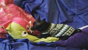 De hond speelgoed-Terrier ontschorst en speelt met een geel stuk speelgoed op een blauwe bank stock footage