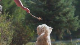 De hond springt en bijt de stok Hondspelen met een tak stock videobeelden