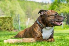 De hond, Staffordshire bull terrier, het liggen cutted vers gras w Royalty-vrije Stock Foto's