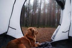 De hond in de tent Nova Scotia-de Retriever van de eendtol in c royalty-vrije stock afbeelding