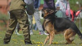 De hond toont demonstratie met verstandig opgeleide herdershonden, hondenaanval de hand van een hondsspecialist, langzame motie stock video