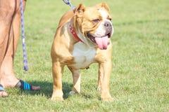 De hond toont Polska KoziegÅ 'owy 19.08.2018 stock foto
