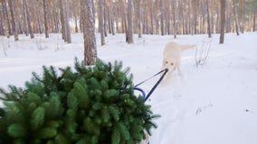 De hond trekt sleeën op hen Kerstboom Spoedig Kerstmisconcept stock video
