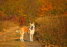 De hond van Akita Stock Foto's
