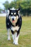 De hond van Alaska malamute   Stock Afbeeldingen