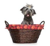 De hond van Apso van Lhasa wattled binnen mand stock foto