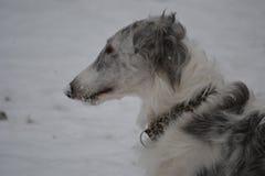 De hond van de barzoibarzoi Stock Fotografie