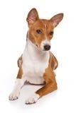 De hond van Basenji Royalty-vrije Stock Foto's