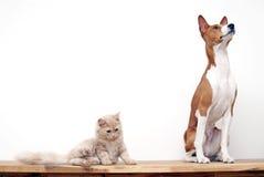 De Hond van Basenji Stock Foto