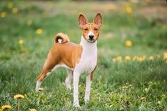 De Hond van Basenjikongo Terrier Basenji is een ras van jachthond stock afbeeldingen