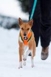 De hond van Basenjis in de winter Royalty-vrije Stock Fotografie