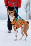 De hond van Basenjis in de winter Royalty-vrije Stock Afbeeldingen