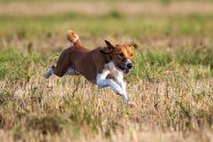De hond van Basenjis het snellen over Royalty-vrije Stock Afbeeldingen