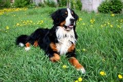 De hond van Bern Royalty-vrije Stock Foto's