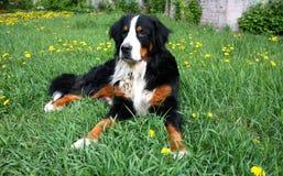 De hond van Bern Royalty-vrije Stock Fotografie