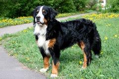 De hond van Bern Royalty-vrije Stock Foto
