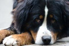 De hond van Bernese Stock Afbeeldingen