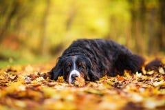 De hond van de Berneseberg in een de herfstbos stock afbeeldingen