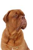 De hond van Bordeaux Royalty-vrije Stock Afbeelding