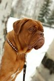 De hond van Bordeaux Royalty-vrije Stock Foto's