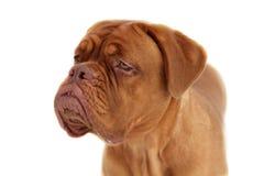 De hond van Bordeaux Stock Fotografie